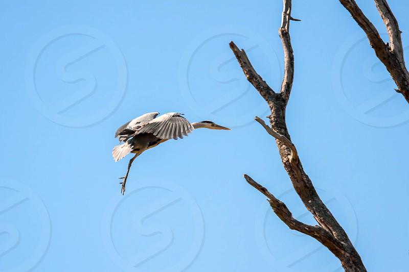 Grey Heron (Ardea cinerea) Approaching the Nest photo