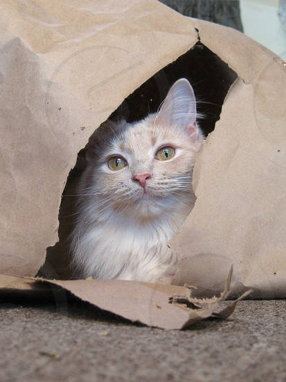 cat kitten paper frisky play playing inside indoors whiskers eyes nose ears tunnel rip tear home house room pose posing cute adorable pet animal animals cuddly hole holes shred torn photo