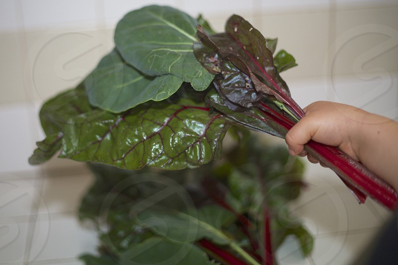 freshly picked kale and swiss chard photo