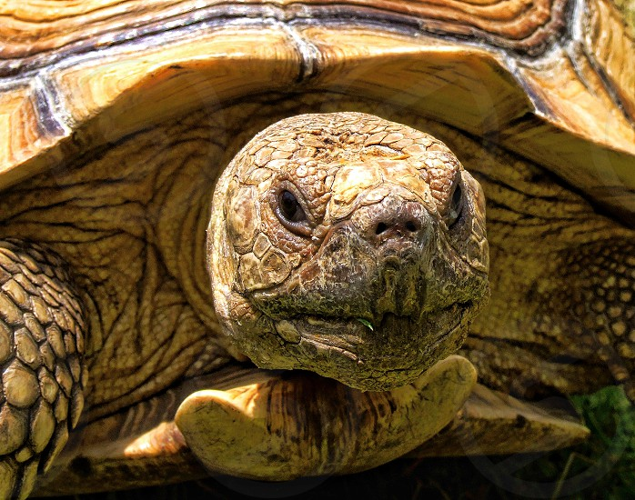 Eye-level close-up of the head and front of a land tortoise photo