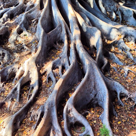 Magnolia tree roots in San Diego photo