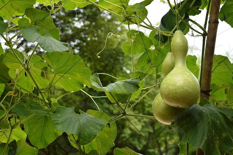 Korean fruit in summer in garden  photo