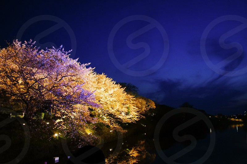 桜 日本 花 春 ライトアップ 大濠公園 舞鶴公園 福岡 綺麗 水面 Japan sakura cherryblossom lightup oohoripark maizurupark Spring flower photo