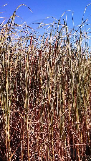 cattails of Wisconsin marsh  photo