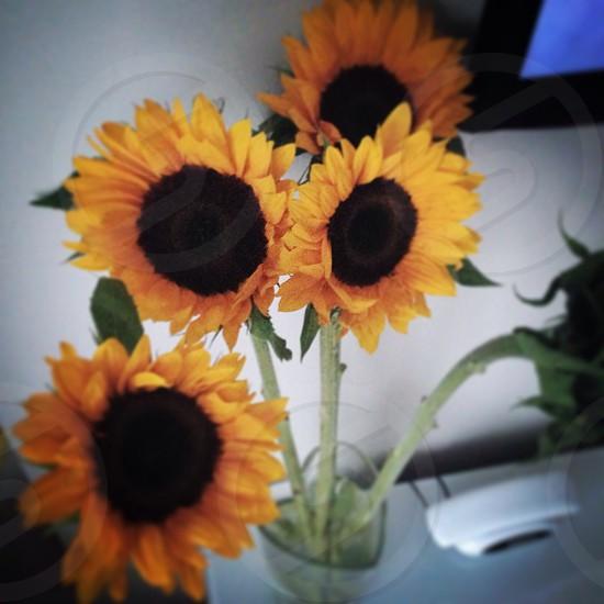 sunflowers on vase photo