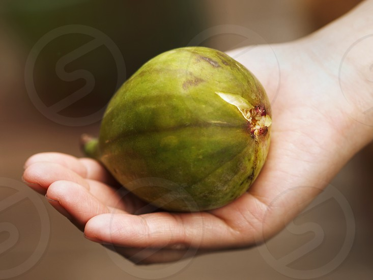 A big mature fig harvested and hand-held shoot close-up in the garden. photo