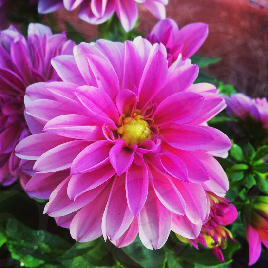 flower bloom bud red pink yellow magenta plant planting planter garden gardening blossom seed greenery summer sun soil earth leaf leaves photo
