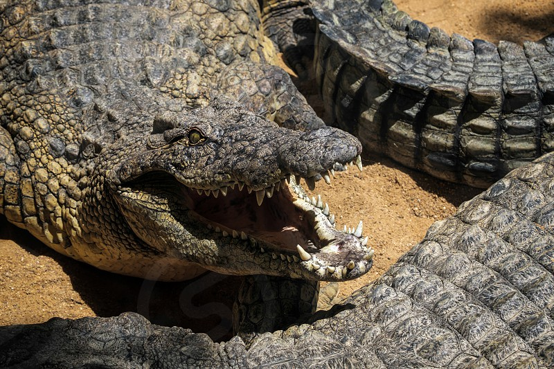 Nile Crocodile (Crocodylus niloticus) at the Bioparc Fuengirola photo