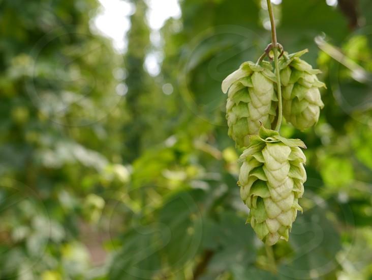 Hops on the vine; hops; craft beer; beer  photo