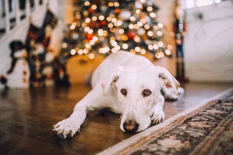 Dog Labrador laying on the floor photo