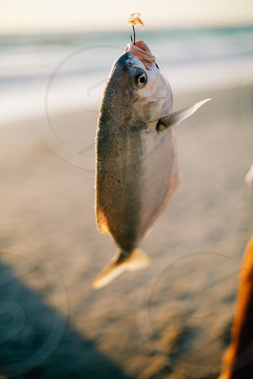 A freshly caught fish on a hook  photo