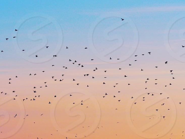 flock of black birds flying under orange and blue cloudy sky photo