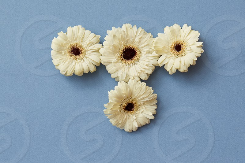 White gerbera flowers in the form of a figure from a tetris game on a blue paper background. Minimal spring concept. Flat lay. photo