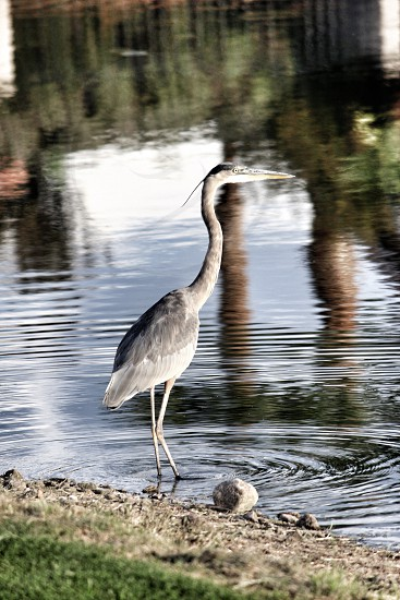 gray and white long bill bird in water photo