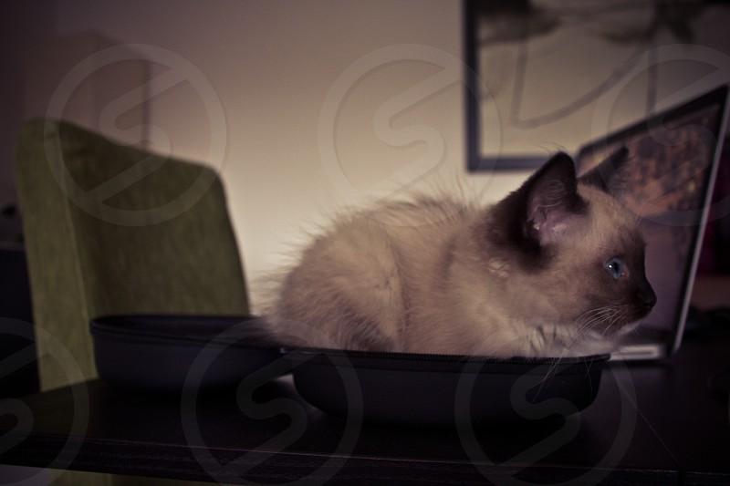 Cute ragdoll kitten sitting. photo