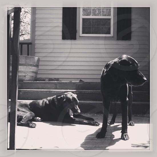 2 black dogs photo