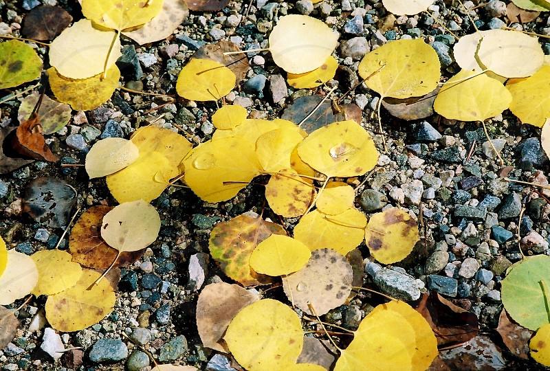 Aspen leaves nature photo