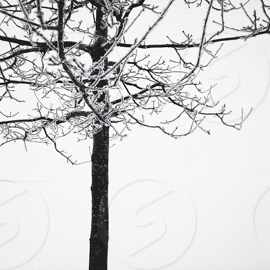 icicle covered black tree photo
