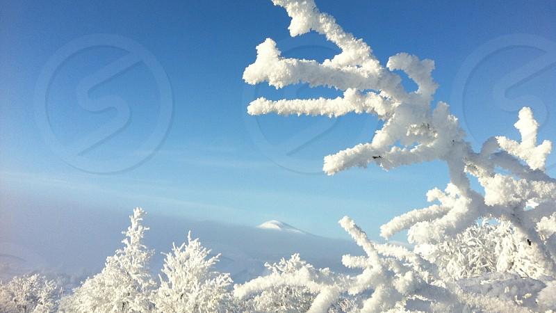 trees with snow photo