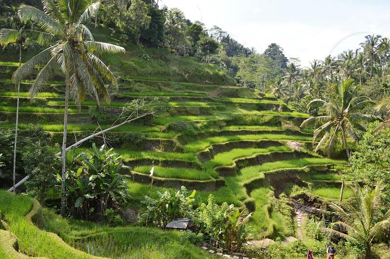 Rice Terrace in Bali photo