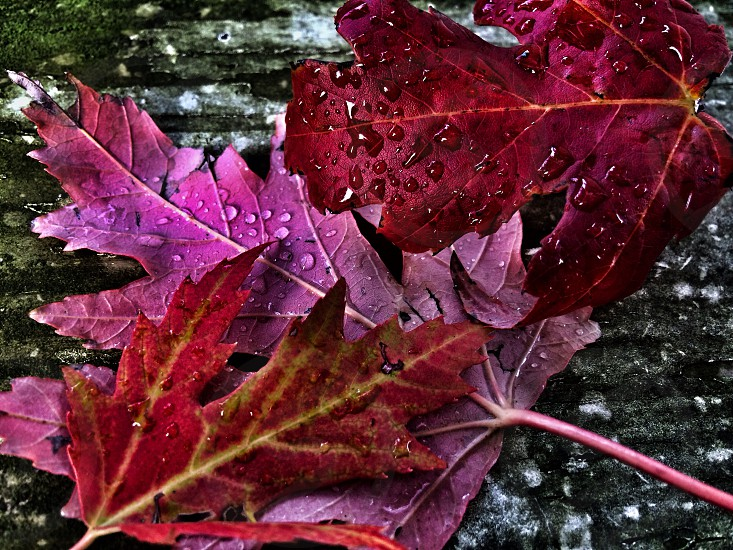 red leaf plant on gray wooden surface photo