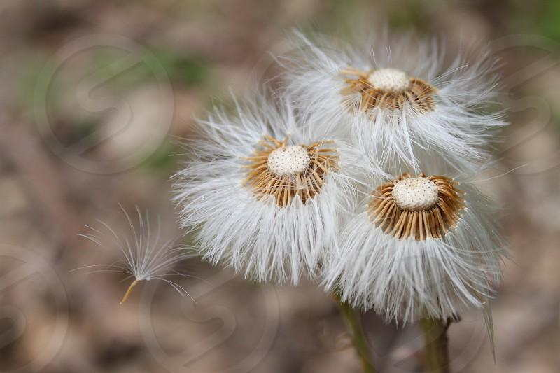 Dandelions photo