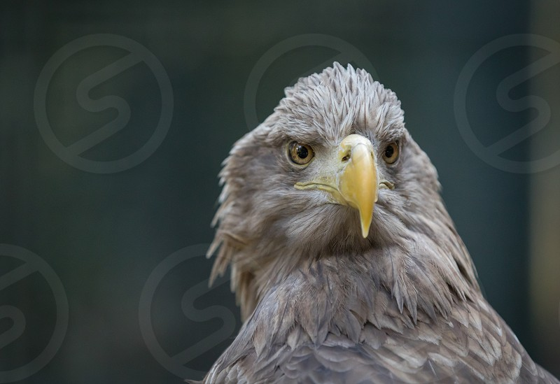 Eagle in the Stuttgart zoo Wilhelma photo