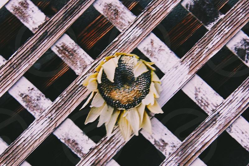 sunflower old fence melancholy still life vintage decoration backyard garden  photo