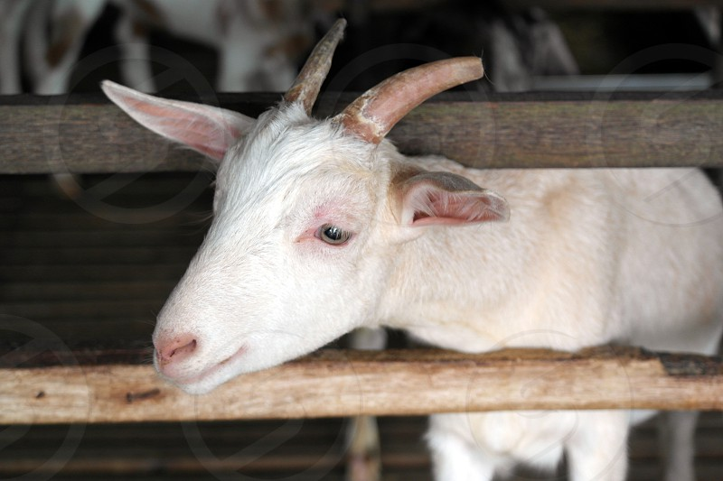 close up photo of a white goat photo