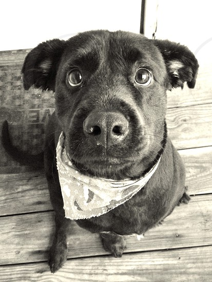 grayscale photo of black short coat dog sitting on wooden floor and looking up photo