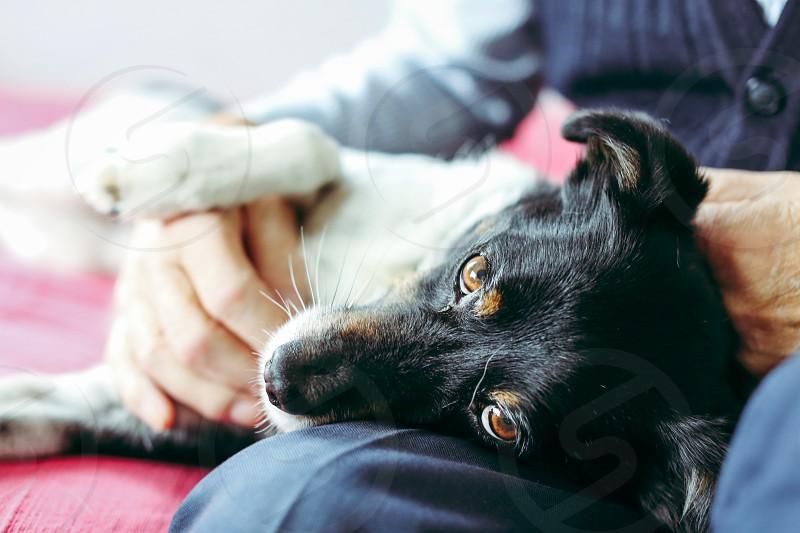 Partner dog trust laying on lapcloseup pet brown eyed photo