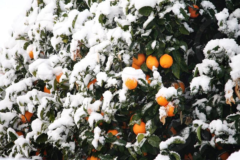Winter snow on an orange tree photo