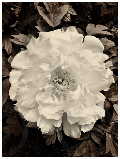 Black and white photo of a peony photo