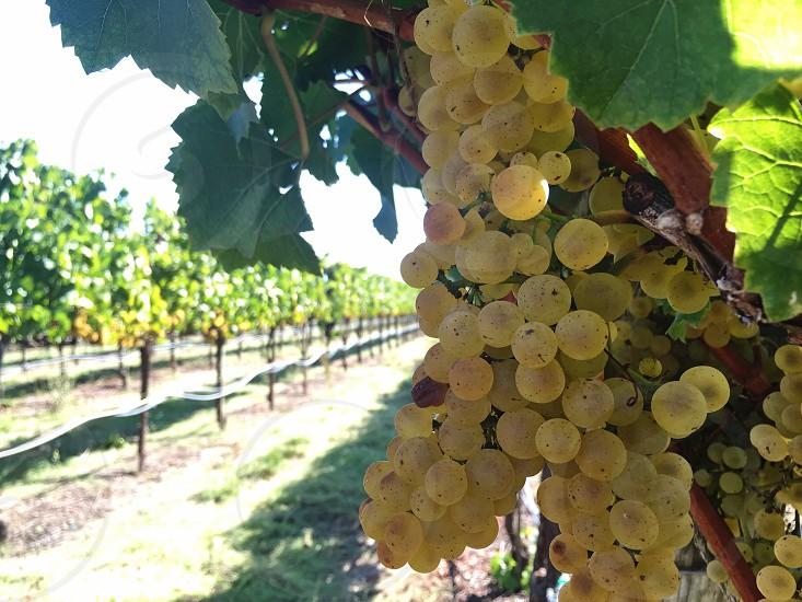 beige berries photo