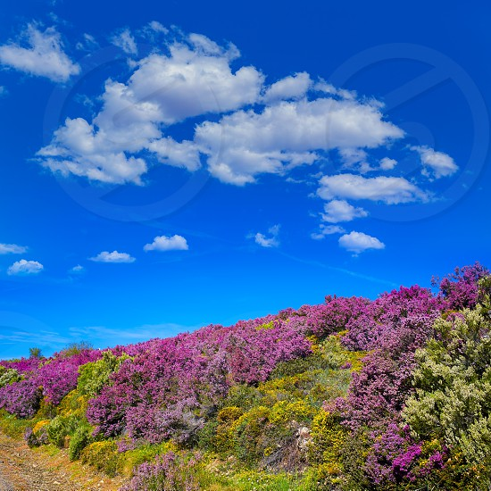 The way of Saint James in Leon Bierzo pink flowers mountains to cruz de Ferro photo