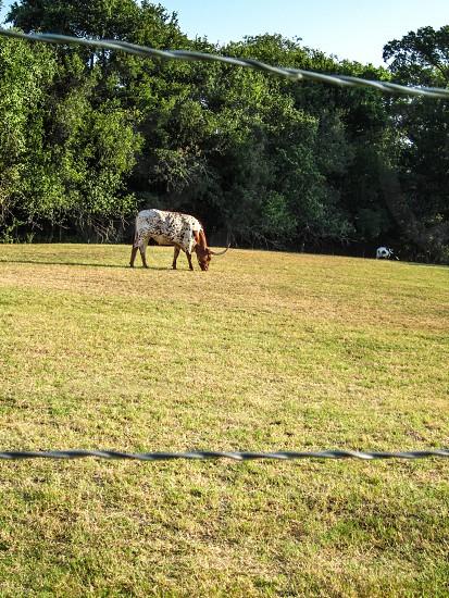 Texas longhorn photo