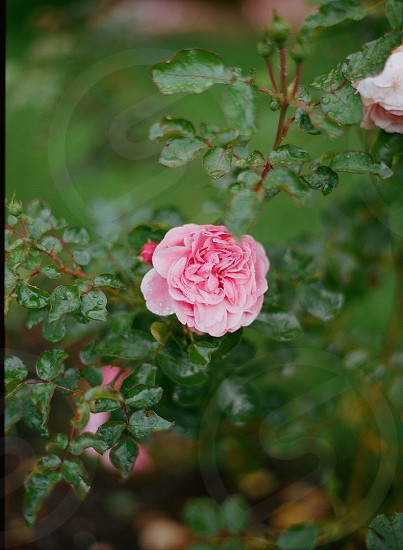 Flower garden floral natural film contax645 photo