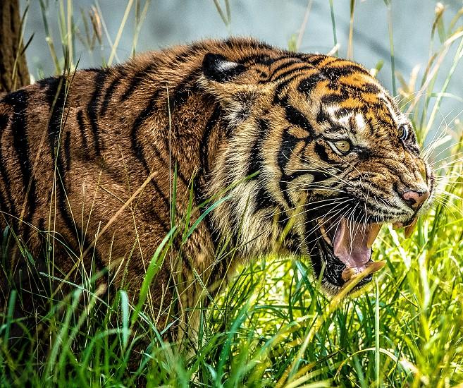 dangers tiger photo