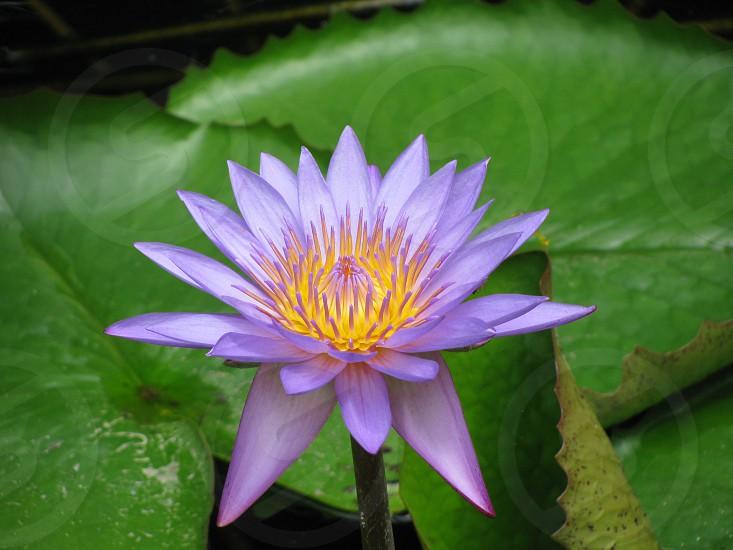 lotusspringcolor photo