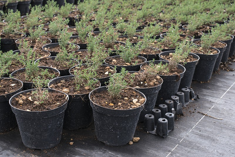 Thyme in pots in spices farm photo