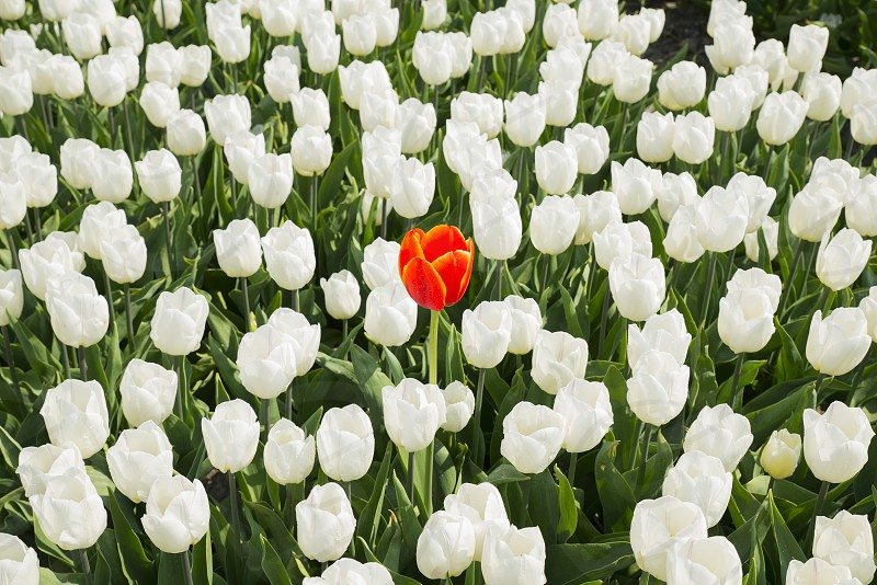 one single red tulip in field of all white flowers as idea of outstanding unique leadership photo