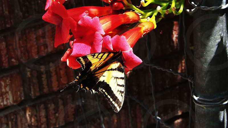 yellow and black butterfly on pink flower photo
