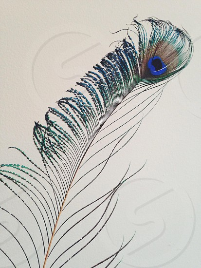 blue peacock feather photo