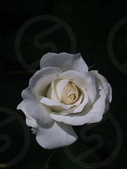 Rose white my yard photo