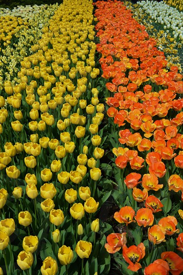 Tulips in the spring beautiful photo