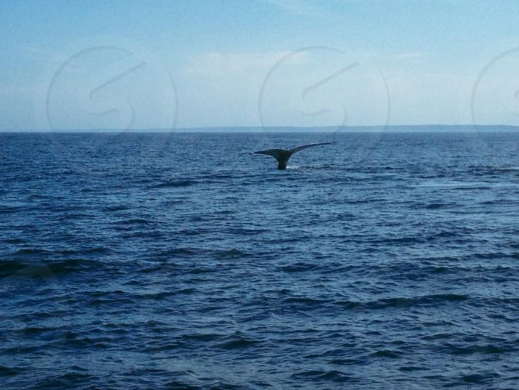 Whaleswhale tailwhaleocean photo