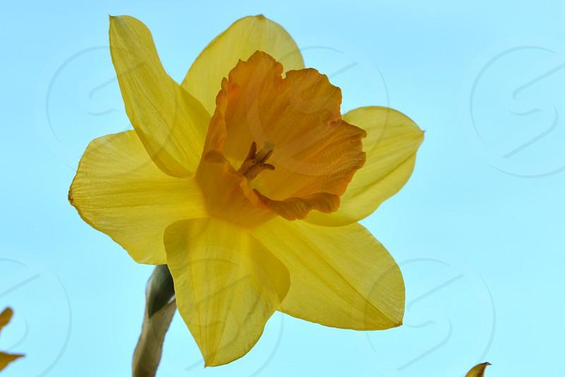 single daffodil yellow Flower blue sky photo