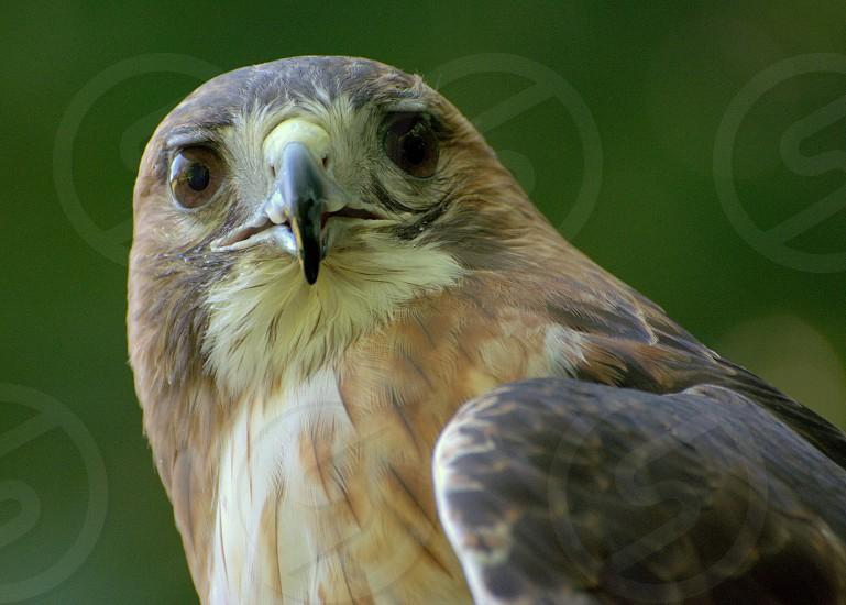 Hawk nature raptor bird hunt prey outdoor animal photo