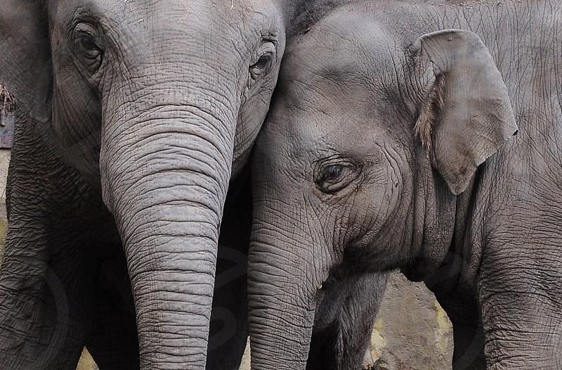 2 grey elephant photo