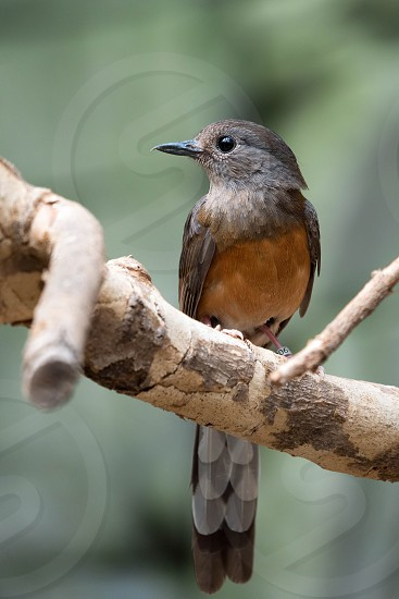 White-rumped Shama (Copsychus malabaricus) photo